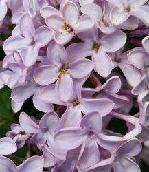 Lilac,  single petals