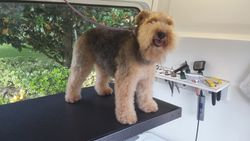 Welsh Terrier before