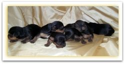 Remy's puppies at 2 weeks