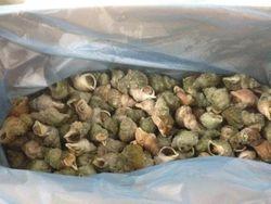 whelk (Buccinum undatum)shell on cooked origin Iceland