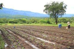 Tomatoes under drip irrigation