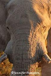 Elephant Portraits