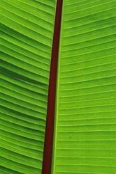Red Stripe Banana Leaf 2