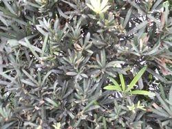 sooty mold on podocarpus