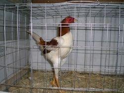 Pile Bantam Cockerel