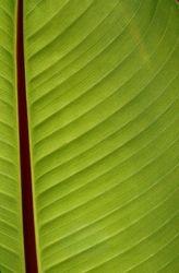Red Stripe Banana Leaf