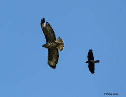 Common Buzzard & Jackdaw