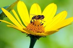 Bee on yellow daisy