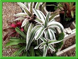 Aechmea 'Reverse Ensign' (sport) (not for sale or trade)