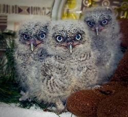 Baby Screech Owls Week 3