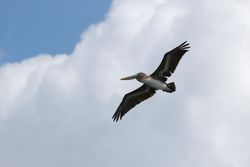 Pelicans flying around the boat in Indian Creek