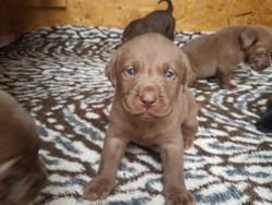 Chocolate Male At 5 Weeks Old.