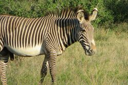 Grevy's Zebra -Samburu Game Reserve
