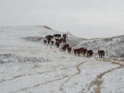 Trailing heifers home in the late fall