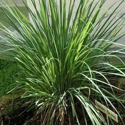 LEMONGRASS (FEVER GRASS)
