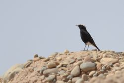 White-crowned Black Wheatear  (TRAQUET A TETE BLANCHE)