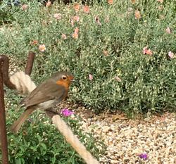 CHEEKY ROBIN IN BETH CHATTO'S GRAVEL GARDEN