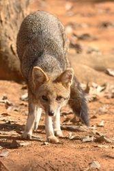 Raposa do campo ( Lycalopex sp )
