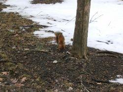 Indiana Squirrel