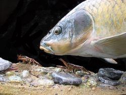 Common Carp with Crayfish