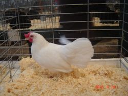 Best S.C.C.L.- Single Comb White Leghorn Hen- House of Champions