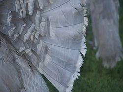 Slate tail