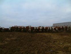 WILSON BROS steers