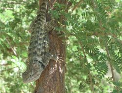 Spiny Tailed Lizzard