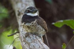 Sooty-capped Puffbird