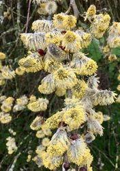 Kilmarnock Willow catkins