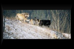 Wolf Pack IV