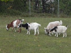 Apache, Moonshine, Ryder and Gypsy