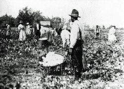 St. Helena Island cotton field - 1880s