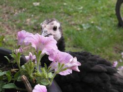 May 12 Black Turkey Poult