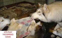 Shaman & Yana teaching the pups