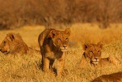Curios lions