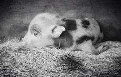 Elles baby boar