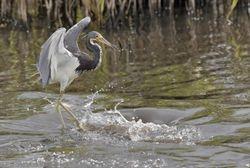 Tri-colored Egret