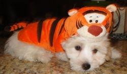 Dawson in his Tigger Costume