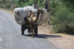 Camel with load