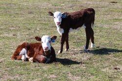 Revolution Bull & P606 Heifer