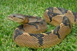 MAPAPI (VIPER) (BUSHMAN)