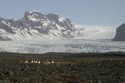 Wilde zwanen voor een gletsjer