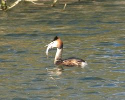 Grebe with fish