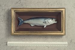snapper blue in antique shadow box