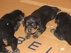 Puppies at 3 weeks...