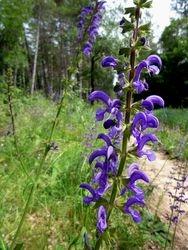 Wild Clary flowers