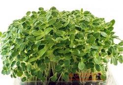 Pedaliaceae Family - SESAME microgreens, 3 weeks since sown