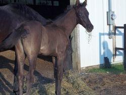 Johnson's 2011 Morgan foal