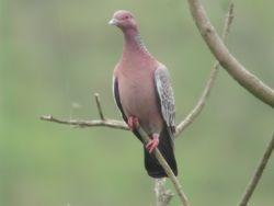 Picazuro Pigeon  (Pigeon picazuro)